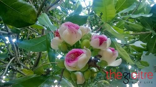 Chiêm ngưỡng vẻ đẹp kiêu sa nhưng e ấp của hoa bàng vuông ở lý sơn