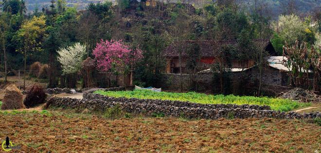 Hoa đào hoa mận nở bung trên cao nguyên đá hà giang