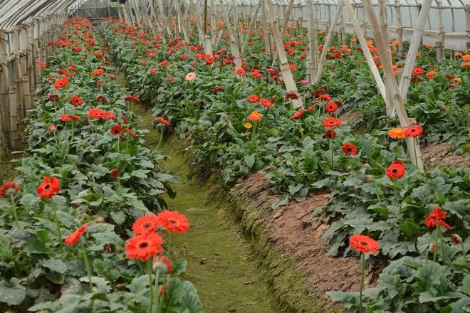 Rực rỡ làng hoa tây tựu vào vụ tết