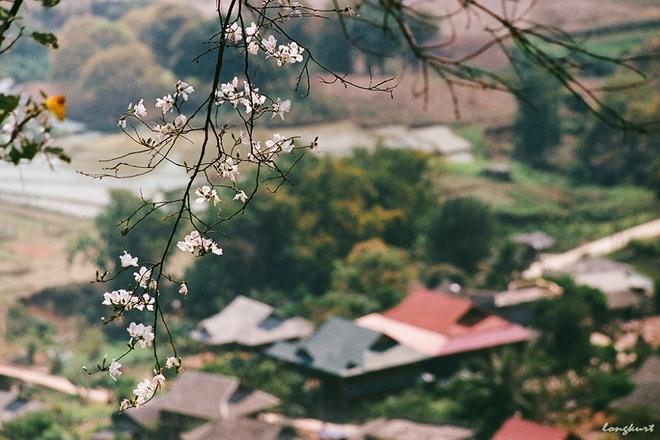 Mùa xuân tây bắc rực rỡ hoa ban nở cùng những thửa ruộng no nước