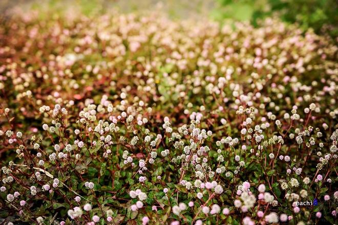 Mùa hoa nở rực rỡ trên cao nguyên đá hà giang