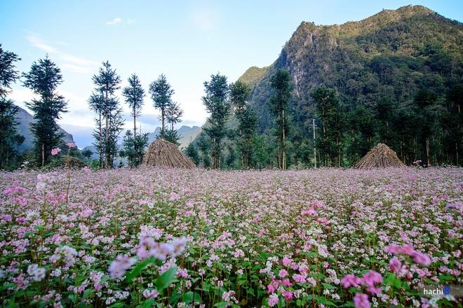 Rực rỡ mùa hoa tam giác mạch ở hà giang