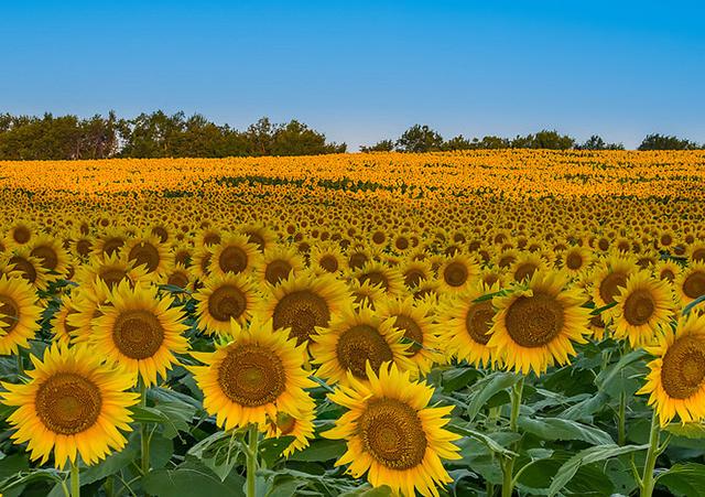 Ngỡ ngàng trước cánh đồng hoa mặt trời ở nghệ an