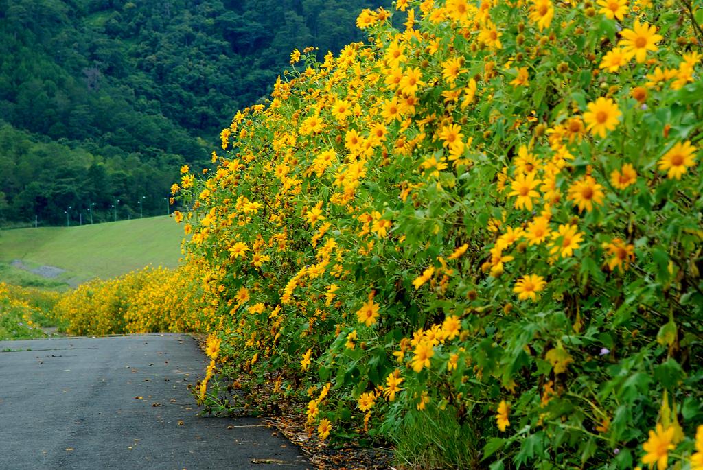 Điểm ngắm hoa dã quỳ dọc 3 miền đất nước