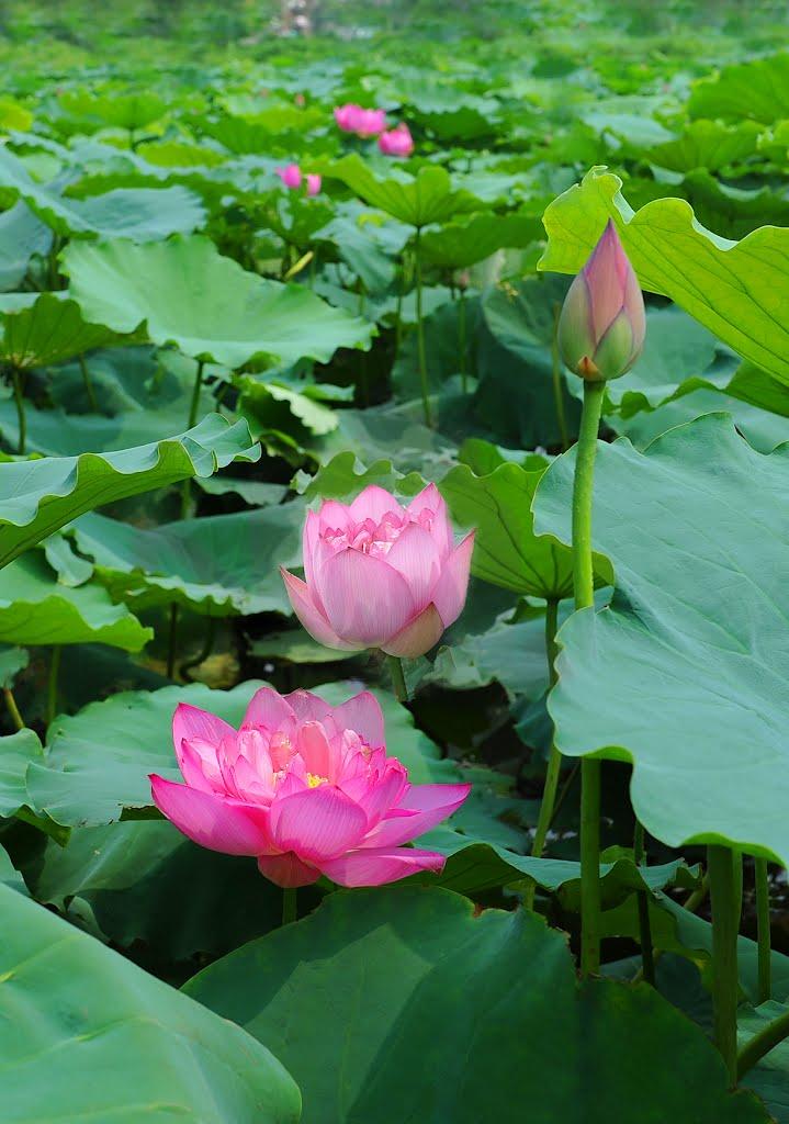 Sen tây hồ đẹp thanh tao mùa nắng hạ