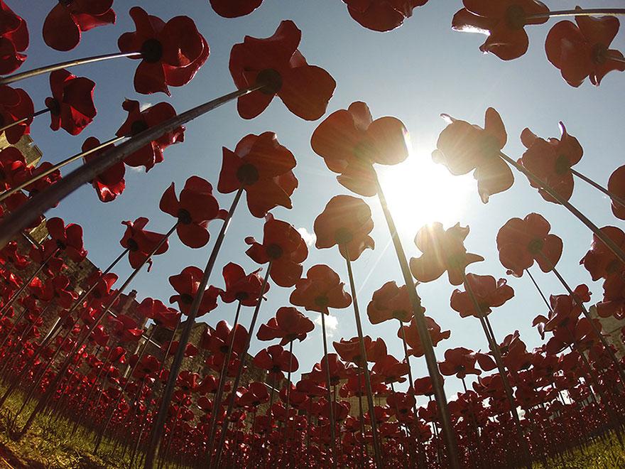 Suối hoa poppies khổng lồ ở anh