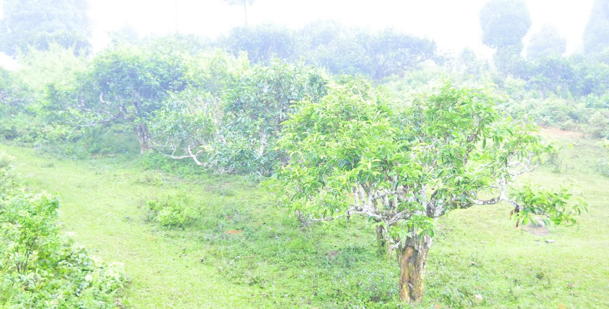 Đến thăm cây chè tổ ở suối giàng