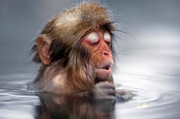 Bộ ảnh độc đáo về khỉ tuyết tắm suối ở nhật