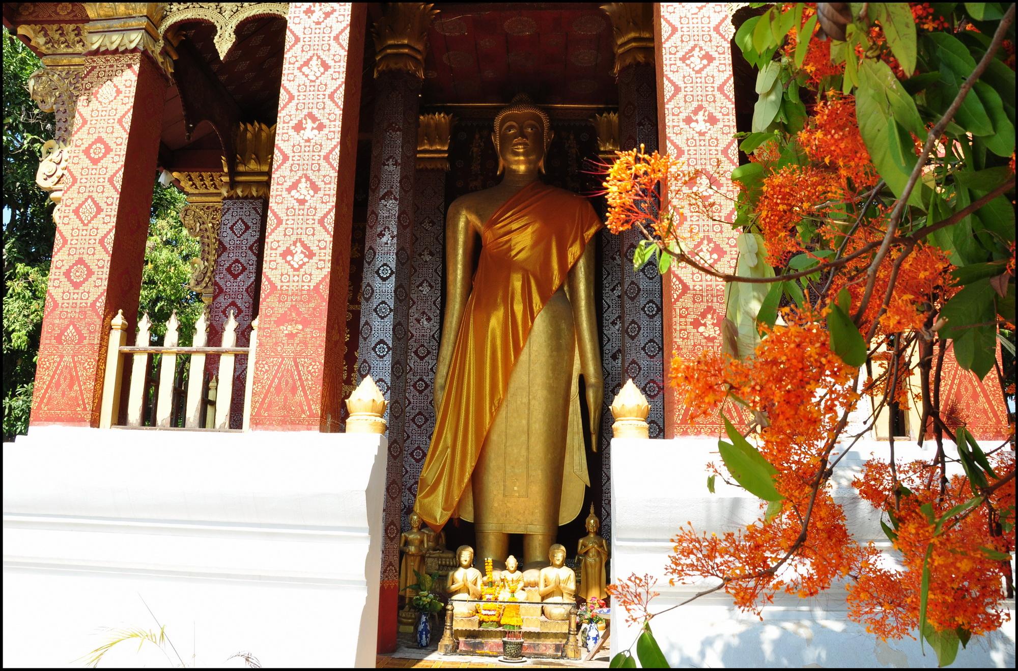 Luang prabang mùa hoa ashoka nở