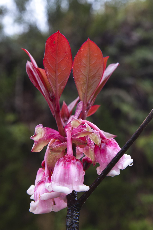 Hoa đào chuông loài hoa ngân giai điệu mùa xuân