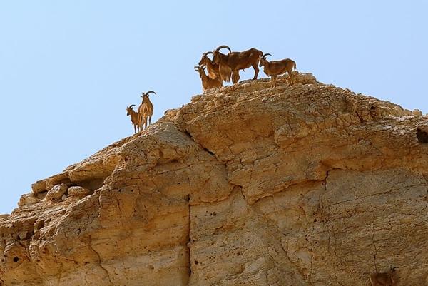 Năm con dê đến thăm những vùng đất có dê và cừu