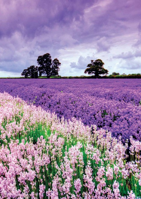 Tháng 7 mùa oải hương đẹp như tranh ở pháp