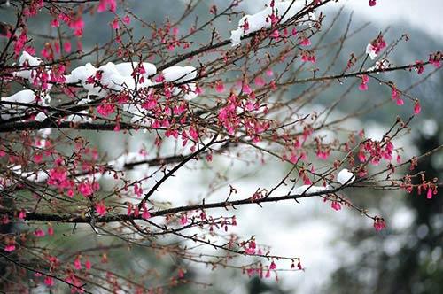 Thưởng ngoạn hoa anh đào khoe sắc trên khắp thế giới