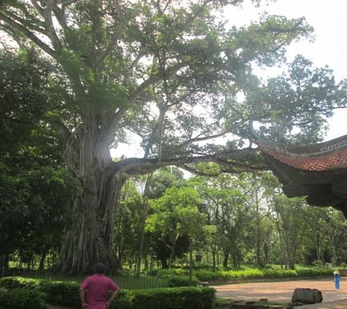 Bí ẩn 3 cây lạ ở khu di tích lam kinh