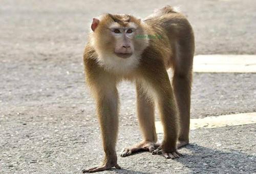 Khỉ đuôi lợn tấn công du khách ở bán đảo sơn trà