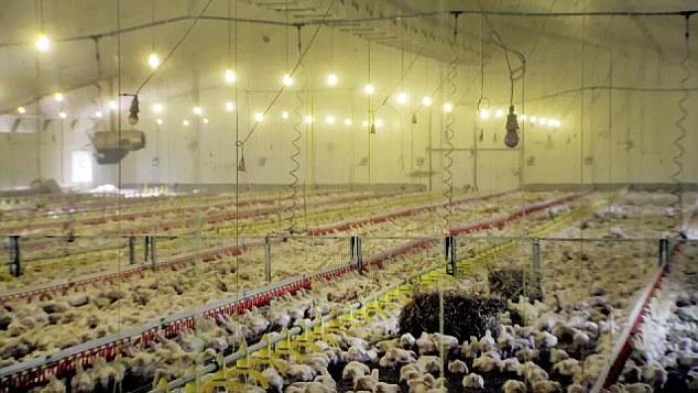 Cuộc sống 35 ngày của những con gà kfc
