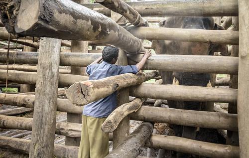 Cuộc sống bi thảm ít ai biết của những con voi làm du lịch