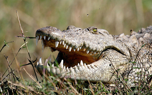 Du khách kinh hãi chứng kiến cá sấu ăn thịt người