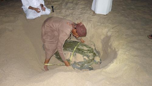 Dịch vụ xem rùa đẻ chỉ có ở oman