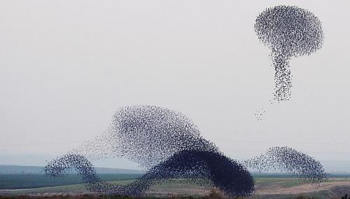 Vũ điệu ballet của loài sáo đá di cư