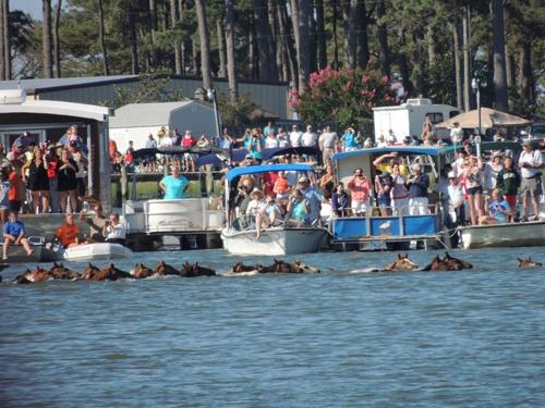 Cuộc thi tắm biển của những chú ngựa nước mỹ