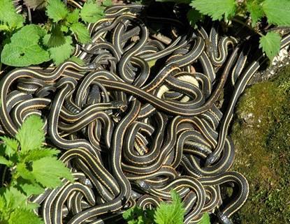 Vương quốc rắn canada mùa giao phối
