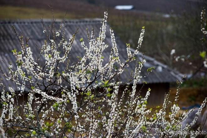 Mùa hoa mận bung nở trên cao nguyên mộc châu