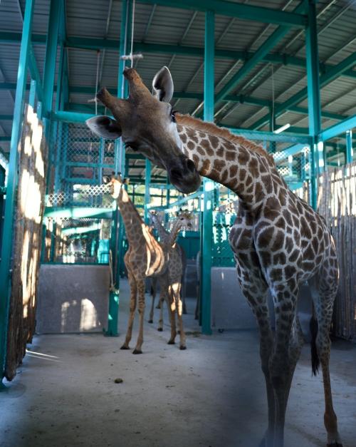 200 loài động vật quý hiếm được chăm sóc tại vinpearl safari