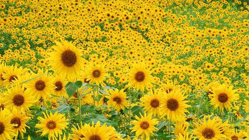 Khám phá mùa hoa hướng dương ở xứ nghệ