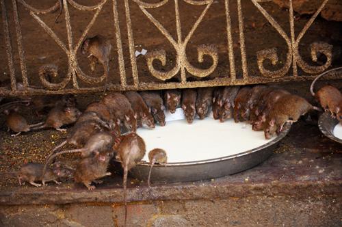 Khám phá những ngôi chùa đầy chuột rắn và hổ