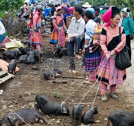 Lợn cắp nách pa pỉnh tộp vùng núi tây bắc mùa lúa chín