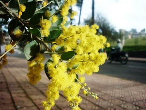 Mimosa con đèo mang tên loài hoa của đà lạt