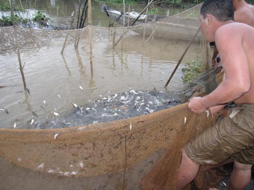 Mùa lũ rút về miền tây xem dỡ chà bắt cá