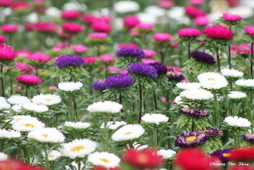 Làng hoa thái phiên - lạc giữa rừng hoa tết