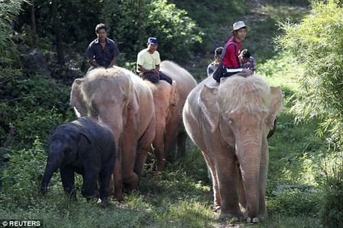 Đan voi trăng 5 con cưc hiêm đươc nuôi nhôt ơ myanmar