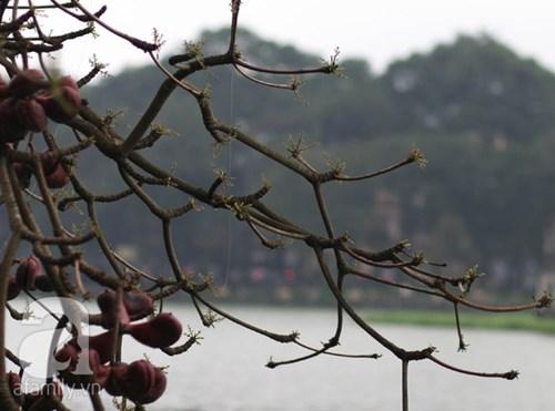 Hà nội đẹp dịu dàng sau những ngày mưa phùn chồi cây hé nụ
