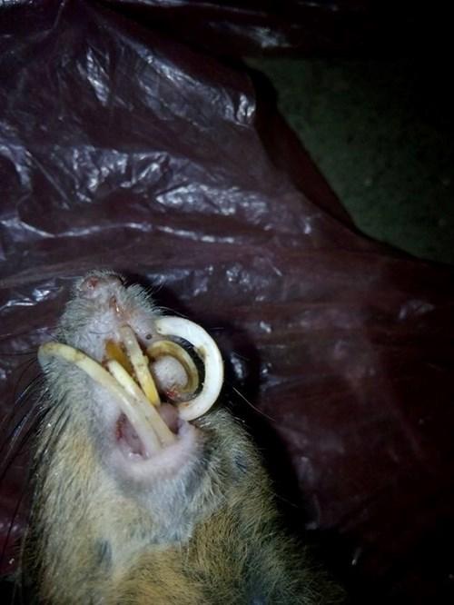 Kinh dị với răng nanh chuột dài như nanh lợn rừng