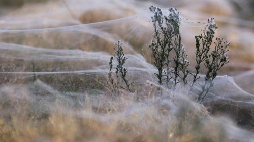 Kinh hoàng hàng triệu con nhện rơi như mưa tại úc