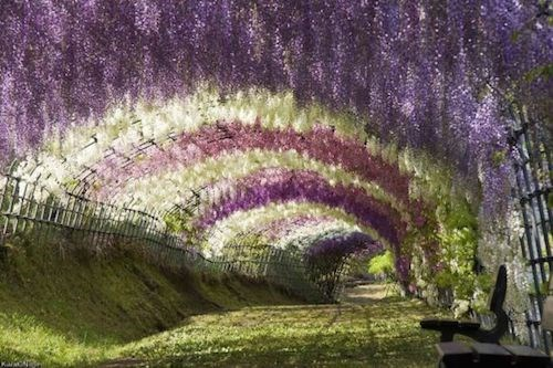 Ngất ngây vẻ đẹp huyền ảo của hoa tử đằng tại nhật bản vào tháng 5