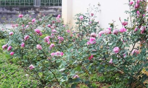 Ngất ngây với vẻ đẹp của giống hồng cổ châu âu ở sapa