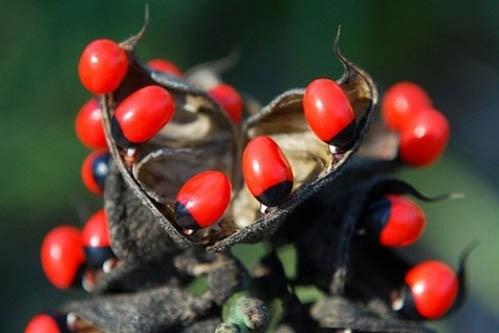 Những thực vật có độc giết người trên thế giới