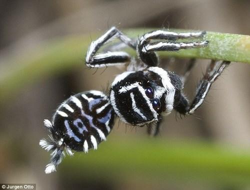 Phát hiện hai loài nhện mới biết nhảy hay mặc đẹp