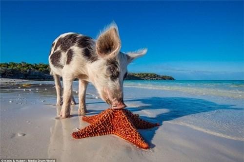 Thú vị hòn đảo khách du lịch thích đến để được tắm với lợn