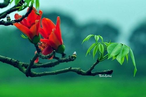 Xao xuyến hình ảnh hoa gạo rực rỡ chào hè