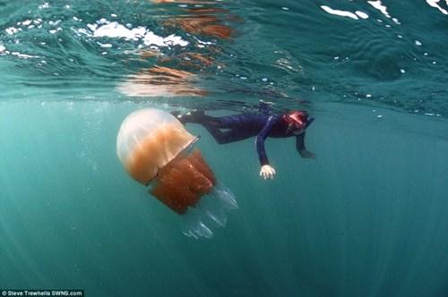 Bí ẩn hàng ngàn con sứa khổng lồ tấn công bờ biển nước anh