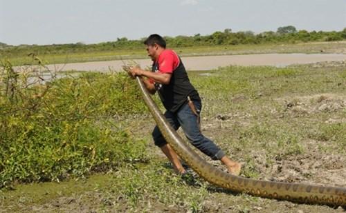 Giải cứu trăn anaconda khổng lồ lạc trong khu nghỉ dưỡng