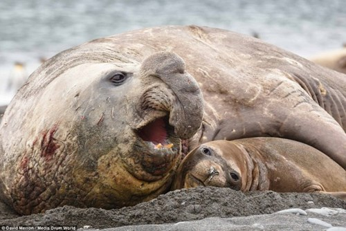 Ngạc nhiên cảnh hải cẩu đực đè bẹp con cái để bạo hành tình dục