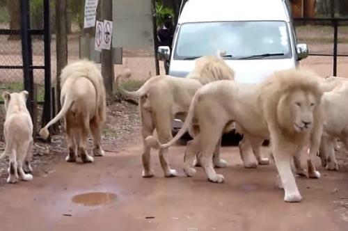 Sư tử nhảy qua cửa xe cắn chết khách du lịch