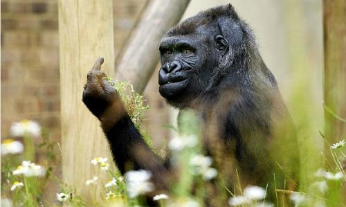 Bị chụp ảnh khỉ đột giơ ngón tay thối vào du khách