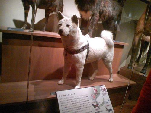 Chó hachiko - biểu tượng về lòng trung thành của nhật bản